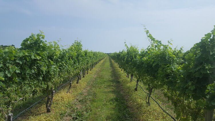 enjoy a family friendly day at the long island wineries