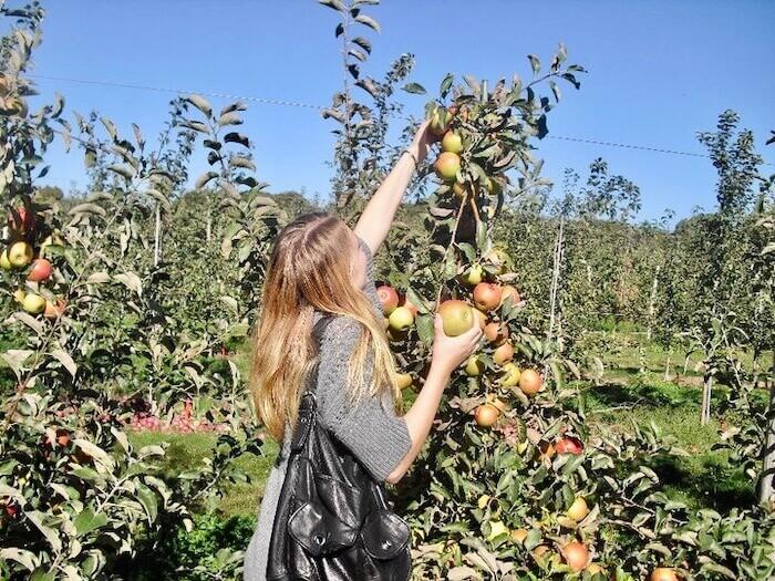 Long Island Apple and Pumpkin Picking - Wickham's Fruit Farms